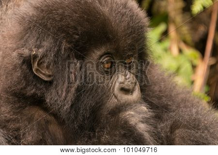 Close-up Of Baby Gorilla Staring In Forest