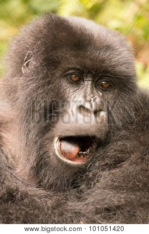 Close-up Of Gorilla Yawning With Mouth Open