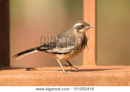 Cape Wagtail Perched On Wall Beside Railing