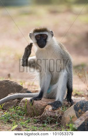 Male Vervet Monkey Scratching Himself With Foot