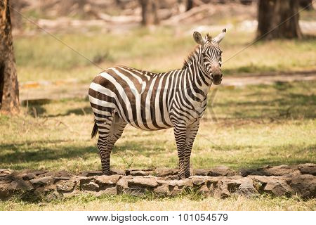 Zebra Standing On Path Looking At Camera