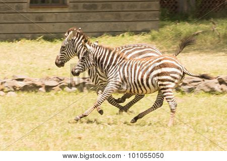Two Young Zebra Galloping Together Beside Building