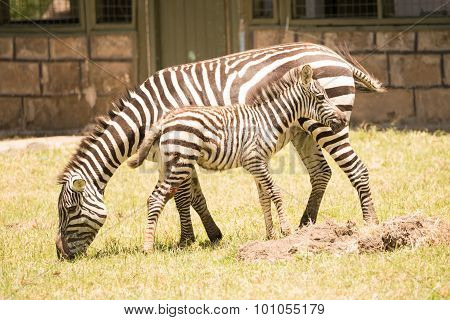 Mother And Baby Zebra Side-by-side On Grass