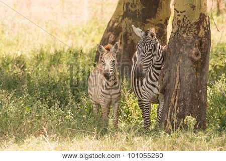 Mother And Baby Zebra Side-by-side In Shade