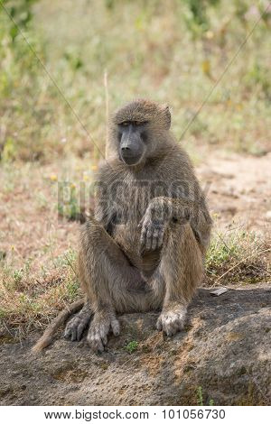 Baboon Sitting Down With Paw On Knee