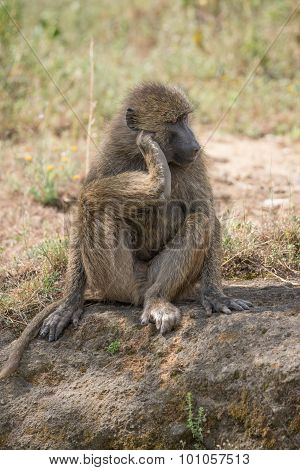 Baboon Sitting Down Scratching Head With Foot