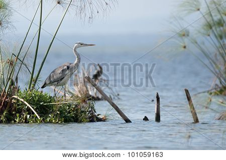 Black-headed Heron On Island With Papyrus Reeds