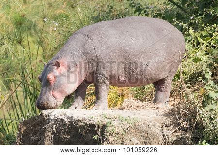 Hippopotamus With Eyes Closed Stands On Rock