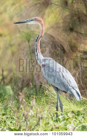 Goliath Heron Perched In Vegetation Near Lake