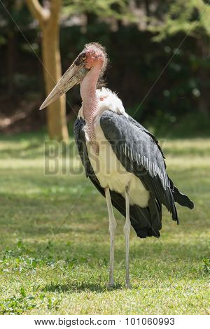 Marabou Stork On Grass With Wings Folded