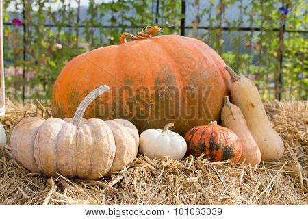 Pumpkin Harvest Season On The Farm