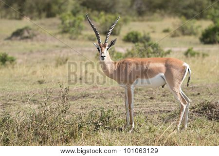 Grant's Gazelle Stands Staring At The Camera