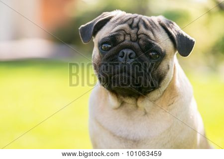 Cute Male Pug On Green Background In The Summer Park