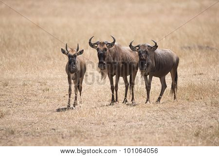 Three Wildebeest Stand Staring At The Camera