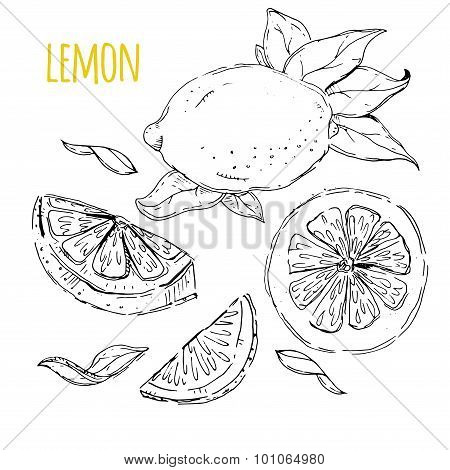 The drawn set of lemons. Lemon segments, juicy lemon. White back