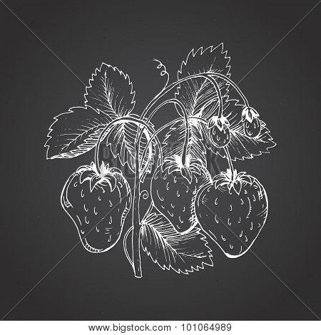 Strawberry drawing. A strawberry bush against a dark background
