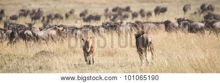 Male And Female Lions Stalk Wildebeest Herd