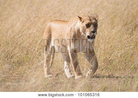 Sleepy Lioness Walking Slowly Across African Savannah