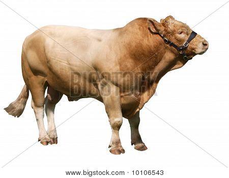 Large Gelbvieh Bull