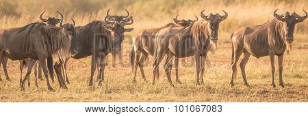 Line Of Wildebeest Standing Staring At Camera