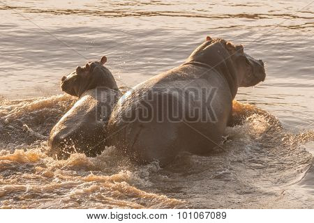 Hippo And Her Calf Wading Through River