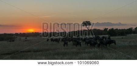 Wildebeest Herd Migrating At Sunset On Savannah