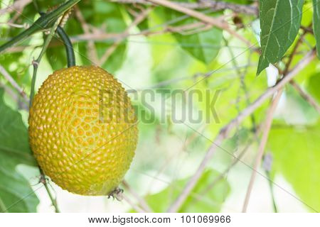 Spring Bitter Cucmber Or Gac Fruit