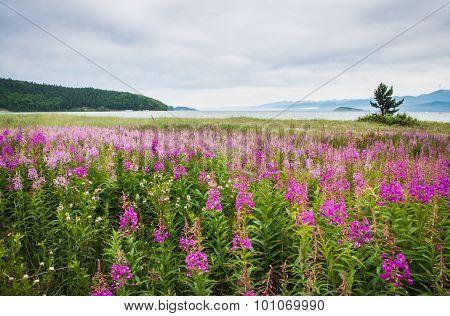 Field Of Fireweed, Lake Baikal, Russia