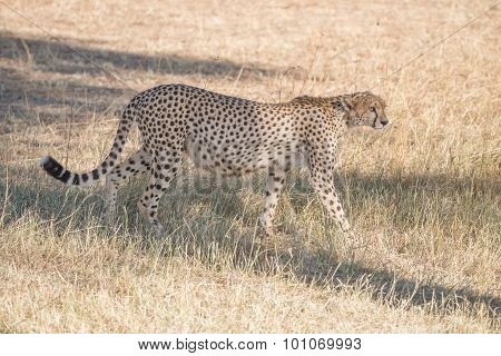 Pregnant Cheetah Prowling In Shade Of Tree