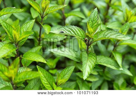 Peppermint In The Garden