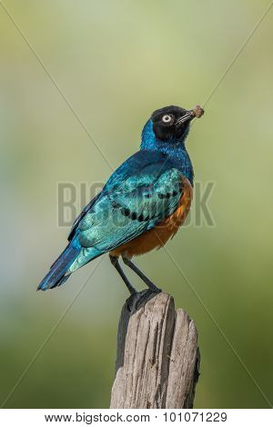 Superb Starling Carrying Worm Perched On Fencepost