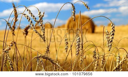 Ears of wheat with a hay bales on the background