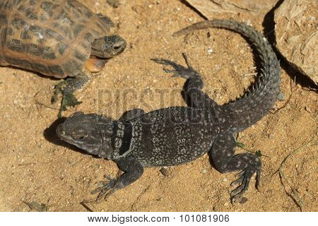 Madagascar spiny-tailed iguana (Oplurus cuvieri), also known as the Madagascar collared lizard. Wild life animal.