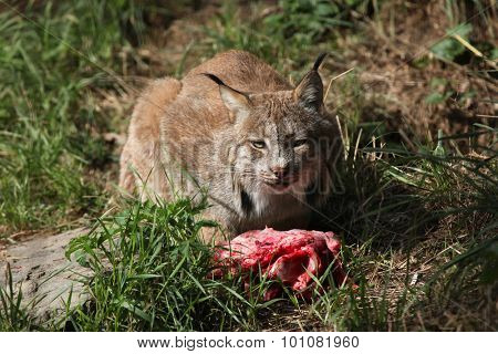 Canadian lynx (Lynx canadensis canadensis) eating meat. Wild life animal.