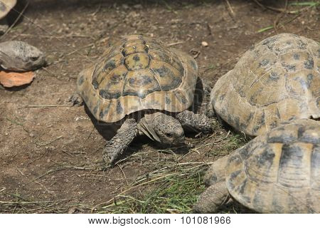 Marginated tortoise (Testudo marginata). Wild life animal.