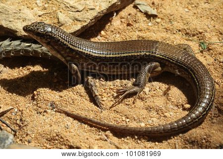 Karsten's zonosaur (Zonosaurus karsteni), also known as the Karsten's girdled lizard. Wild life animal.