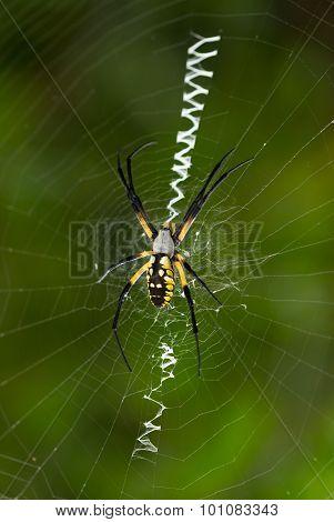 Orb-weaver Garden Spider