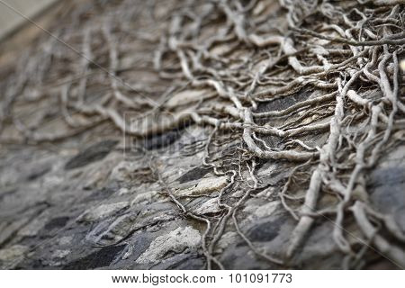Rustic Old Vines Growing up Stone Wall