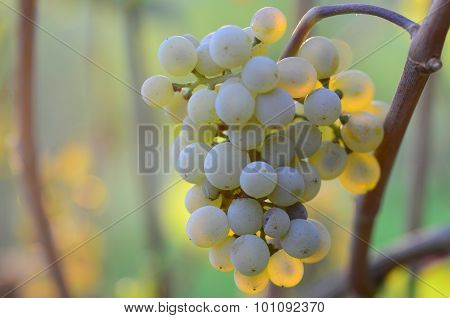 Homegrown bunch of white grapes with green leaves
