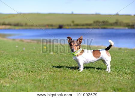 Jack Russell Terrier Standing On Grass Looking