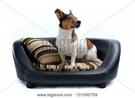 Jack Russell Terrier Sitting On Luxury Dog Bed