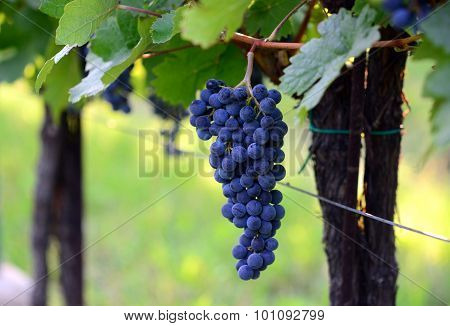 Purple red grapes with green leaves. Homegrown harvest.