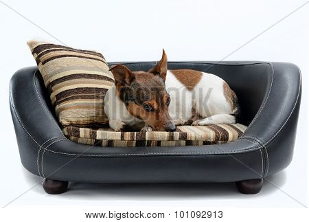 Jack Russell Terrier Lying On Luxury Dog Bed
