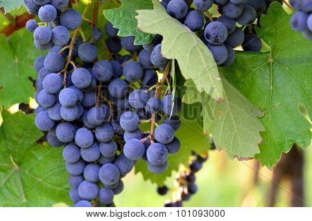 Homegrown purple red grapes with green leaves
