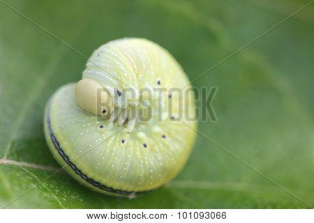 The larva - caterpillar on green leaf