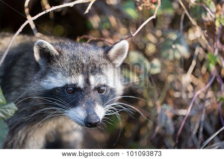 Raccoon, Procyon lotor (harvest)
