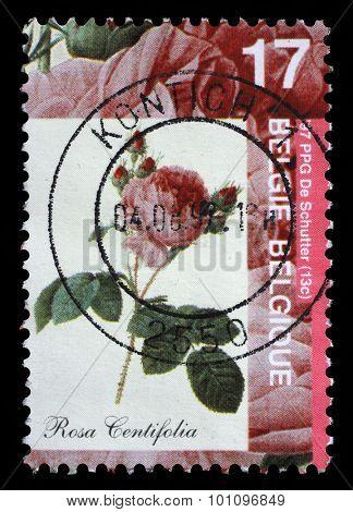 BELGIUM - CIRCA 1997: A stamp printed by Belgium shows Rose, Rosa centifolia, circa 1997.