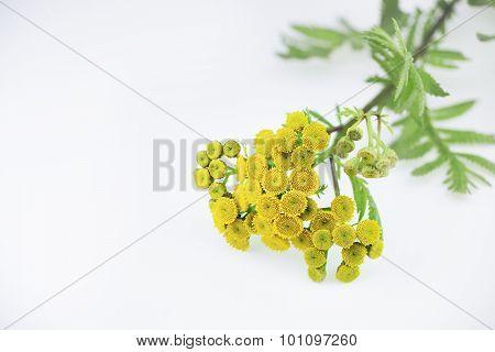 Tansy Herb