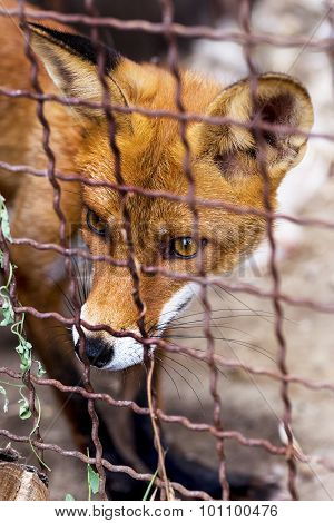 Full Length Portrait Of A Man Posing Red Fox In The Zoo Enclosure. Beautiful Forest Wild Animal. Sma