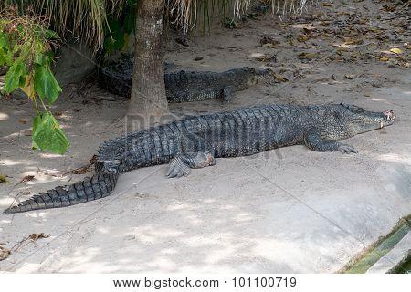Crocodile in swamp